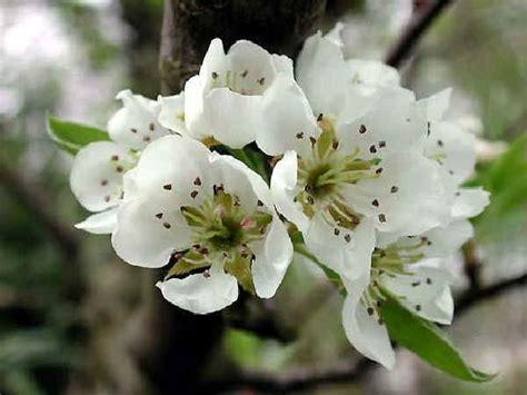 pero da fiore alberi da frutto pero