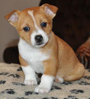 portuguese podengo puppies portuguese podengo puppy pictures
