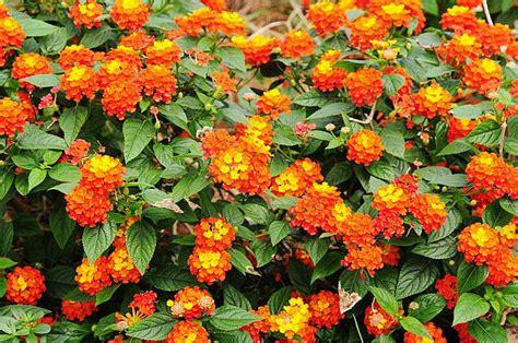 Jual Bibit Bunga Lantana jual bunga lantana orange oranye bibit tanaman hidup