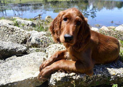 Old Setter Dog | my 13 week old irish setter puppy sherlock dog love