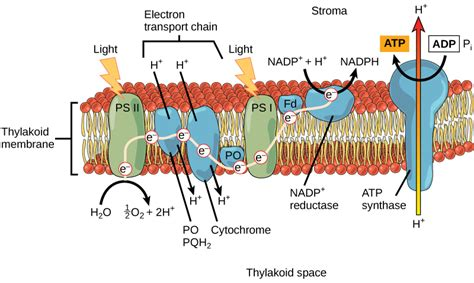 the light dependent reactions of photosynthesis voer