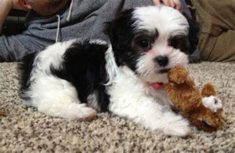 white baby shih tzu shih tzu breed 187 information pictures more