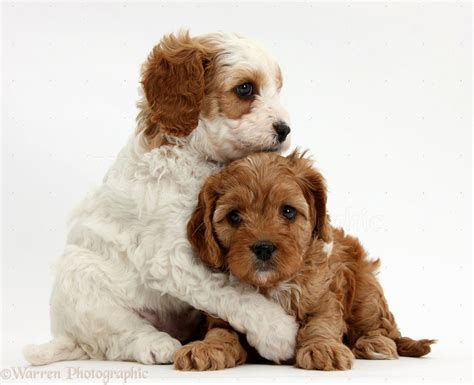 cavapoo puppies cavapoo puppies nc puppies puppy