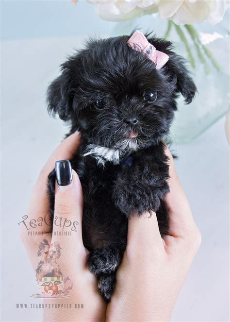 maltipoo puppy for sale the cutest pomeranian puppies for sale teacups puppies boutique