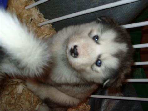 fluffy husky puppies pedigree siberian husky puppies fluffy whitehaven cumbria pets4homes