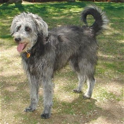german shepherd poodle mix shepadoodle breed information and pictures