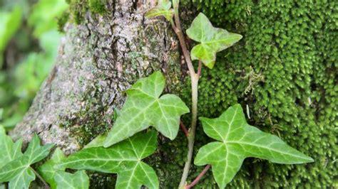 edera coltivazione in vaso come coltivare l edera deabyday tv