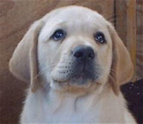 labrador puppies california labrador retriever breeder southern california labrador breeders