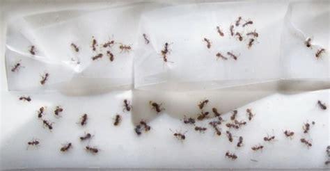 Ameisen Bek Mpfen Im Haus 6933 by Ameisen Bek 228 Mpfen Im Haus Und Im Garten Hausmittel Gegen