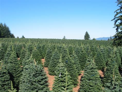 big john s christmas trees