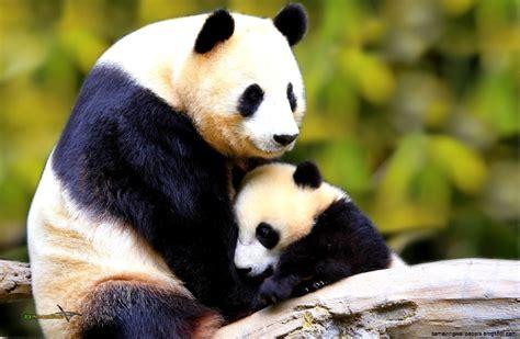 Panda With by Baby Panda Wallpaper Amazing Wallpapers