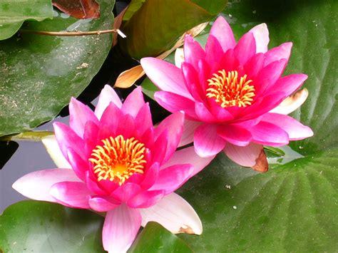 fiore di loto immagini il fiore loto la stanza di