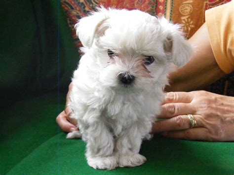 malchi puppies for sale 1 teacup malchi puppy barnsley south