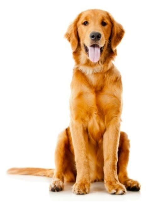 golden retriever facts and info golden retriever breed information and photos thriftyfun