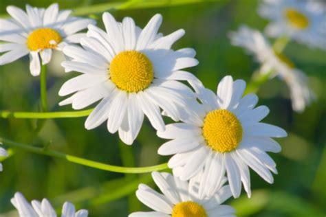 fiore della camomilla camomilla la pianta aromatica sacra al dio sole r 224