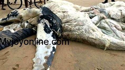 imagenes de animales nuevas especies extra 209 o animal encontrado en ghana africa nueva especie