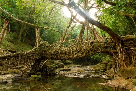 what is root bridge file living root bridge jpg wikimedia commons