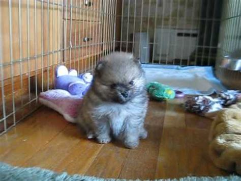 6 week pomeranian puppies pomeranian puppy 4 and 5 weeks
