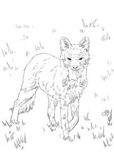 coloring page gray fox north american grey fox coloring page free printable