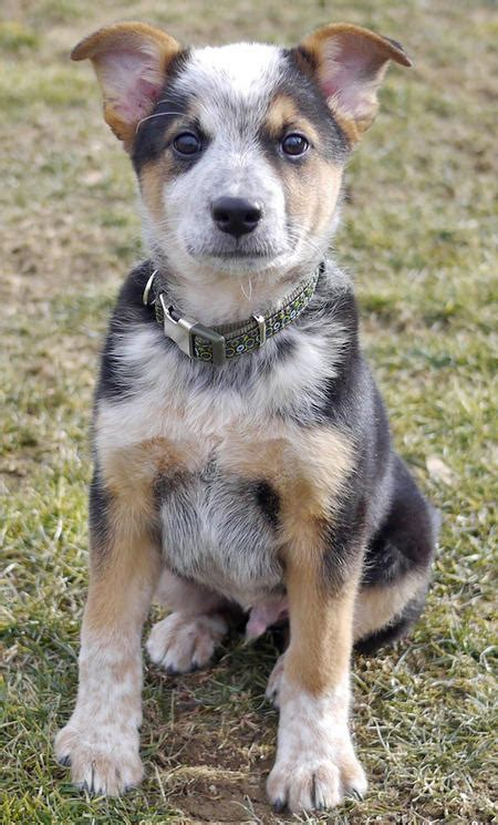 australian cattle mix puppies australian cattle mischling mix