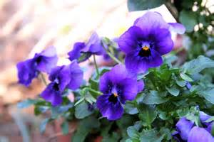 Purple Viola Flower - edible flower the gardener and the chef