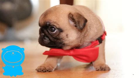 puppy 6 pug vs pug books the absolute cutest pug puppy in a bow tie