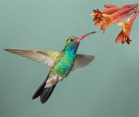 Humming Bird hummingbird tongues act like tiny pumps