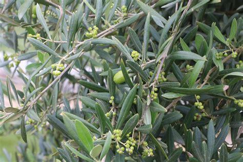 wann werden oliven geerntet k 252 belpflanzen pflege hausgarten net