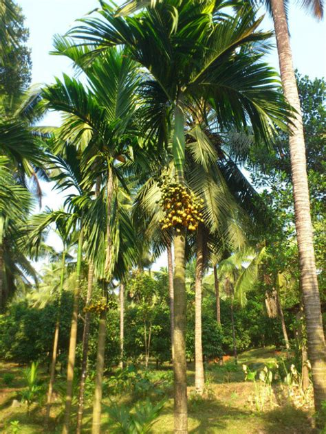 areca nut tree  kajane farm photo