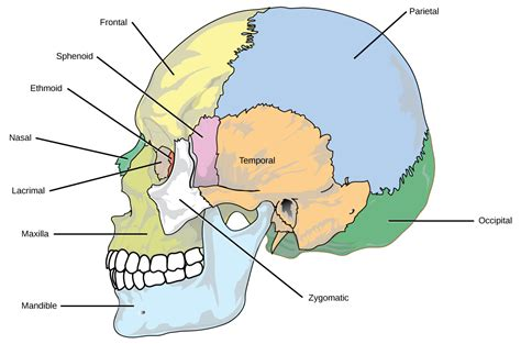 the human skull is divided into what two sections human axial skeleton biology for majors ii