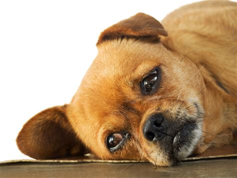 puppy is lethargic a lethargic puppy find real illness mysweetpuppy net