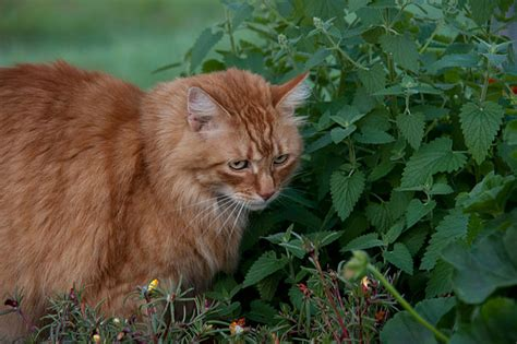 is catnip bad for dogs is catnip for cats and kittens or bad dogs cats pets