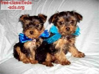 teacup yorkie ta 25 best ideas about yorkie puppies for adoption on teacup yorkie for