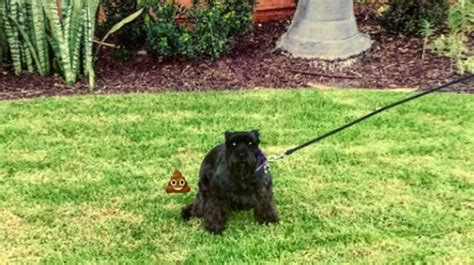 dog poop backyard 100 dog backyard leash top 10 tips u2013 training