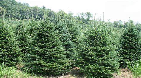 syracuse christmas tree farm beautiful christmas trees
