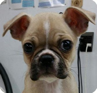 boston terrier pug mix for adoption ky pug boston terrier mix meet socuis a puppy for adoption