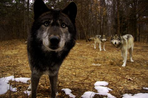 hd trailcam pictures of wolves in winter how to track wolves with a trail