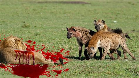 real fights hyena vs fight www pixshark images galleries with a bite