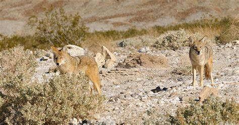 coyote challenge call 4 coyote calls you need to wide open spaces