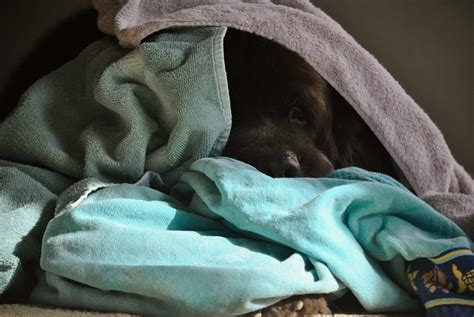 how to keep house smelling fresh with dogs how to keep dog towels smelling clean during mud season mybrownnewfies com