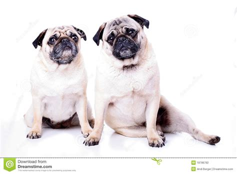 two pugs two pugs together stock photography image 18786792