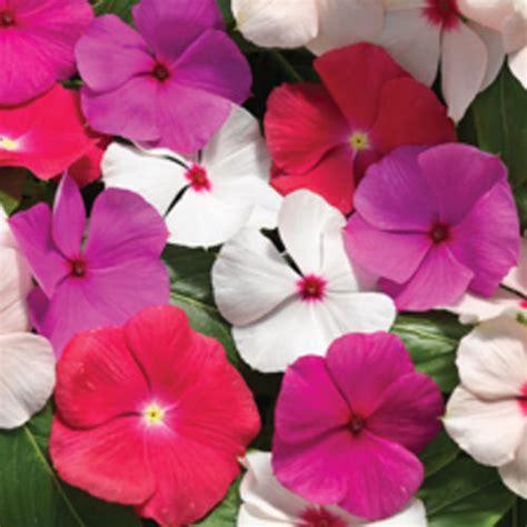 Bunga Vinca Casade Mixed cora 174 cascade mix vinca catharanthus roseus proven winners