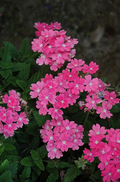lanai upright pink verbena verbena lanai upright pink