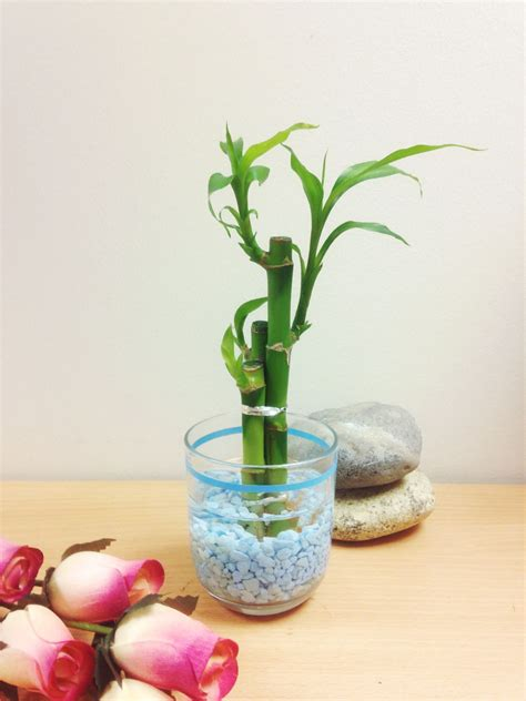 feng shui vase 1 pot of lucky bamboo in colourful glass vase house plant
