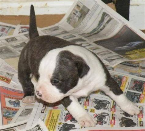 free puppies in indiana akc american staffordshire terrier puppies for sale adoption from pekin indiana