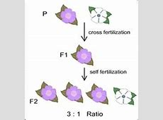 Examples of evolution by natural selection - BIOL58010 F1 Generation Punnett Square