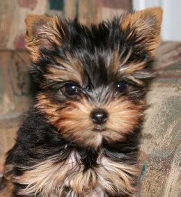 when is a yorkie no longer a puppy five great breeds that dont shed much