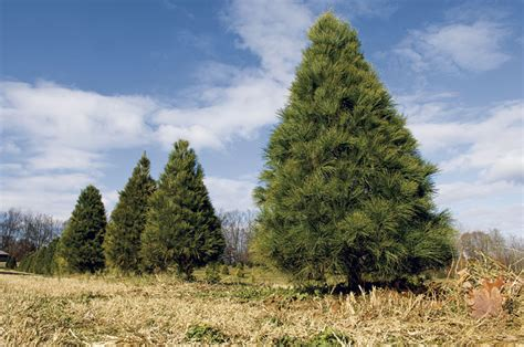 tree farm cory indiana top 8 trees to take home for the holidays my indiana home
