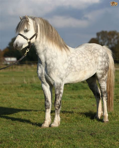 welsh section d characteristics large horse breeds little horse just b cause