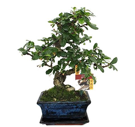 bonsai haus bonsai fukientee carmona microphylla ca 6 jahre
